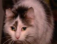 Van Dusen Cat