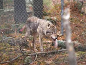 Hornepayne Wolf