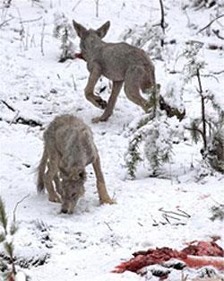 Hornepayne Wolf Pups