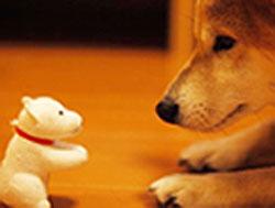 Shiba Inu and Toy