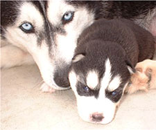 Husky Mother and Puppy